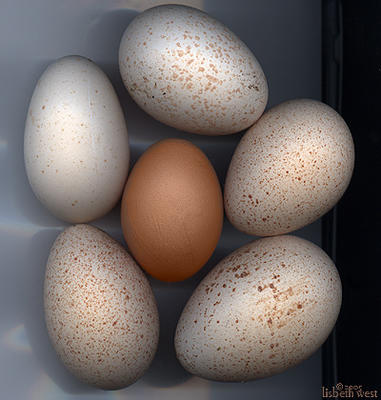 the beauty of an egg: turkey eggs, americanus hen, orphinton hen egg