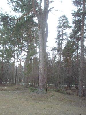 300 year old Salt Pine tree at Kaskila