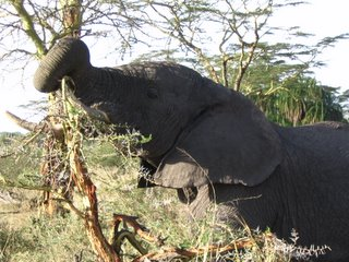 Elephant eating a thorny bush