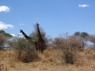 Watchful Mama Giraffe