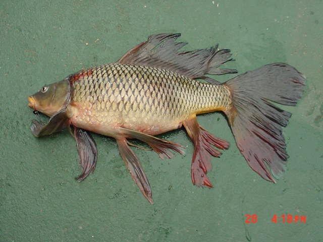 Selmand 2006 05 07 for Carpa pesce rosso