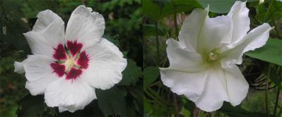 last of the Rose of Sharon and first of the Moon Flowers