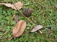 Pine Cone, Pinus Khasia