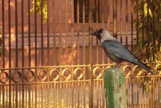 Kalia the Crow