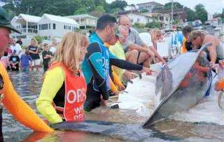 ORRCA Whale Rescue