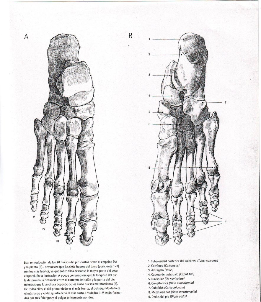 Hermosa Pies Sistema Esquelético Festooning - Anatomía de Las ...