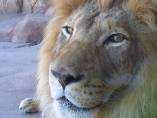 Photograph of a lion at the Denver zoo.