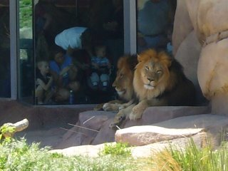 Photograph of lions at the Denver zoo.
