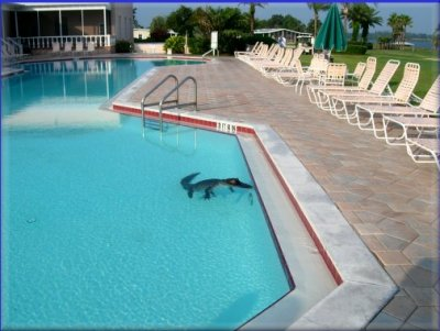 Today With President Barack Obama Alligator In Swimming Pool
