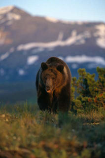 See a Grizzly Bear on an adventure safari in Jackson Hole Wyoming