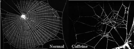 Caffeine-influenced spider web lacks a single organised cell