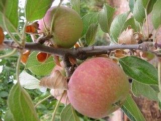 Pretty Apples on a Tree