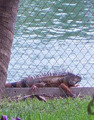 iguana sex and the beach