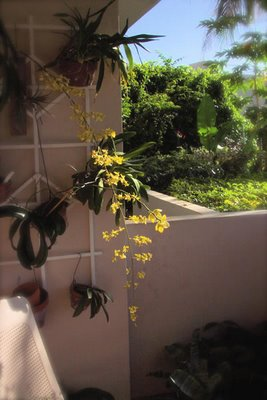manola's bloomer oncidium orchid