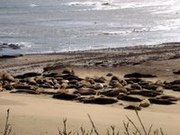 elephant seal harem at ano nuevo