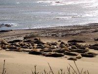 elephant seal harem at ano nuevo
