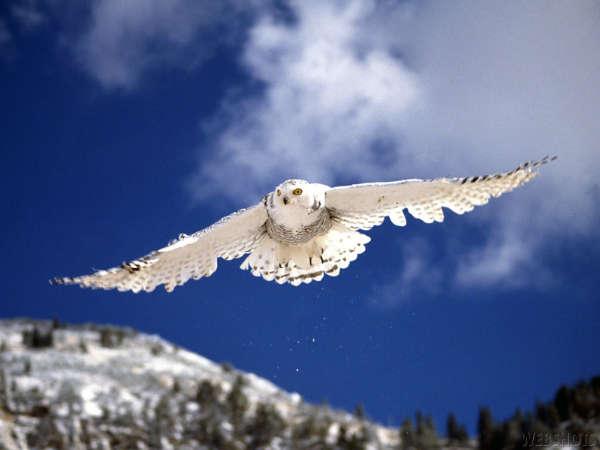 Snowy White Owl Drawing White Owl