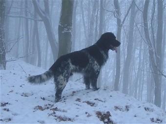 Munsterlander Dog Rescue Uk