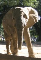 Elephant at Palermo Zoo