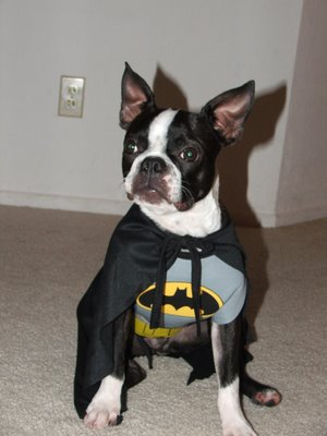 batman & Boston Terrier Photo Blog: batman