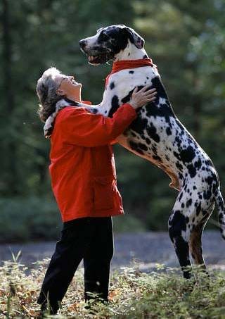Big Dalmatian dog picture