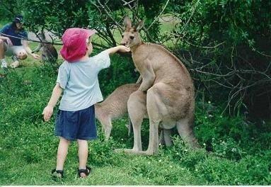 Kangaroos picture