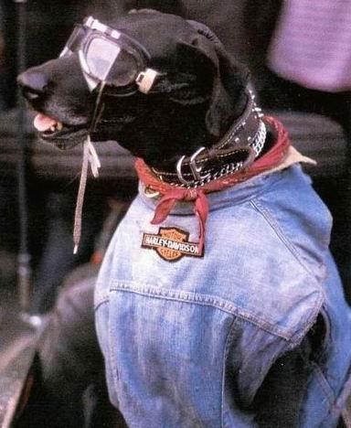 Funny Harley Davidson Dog