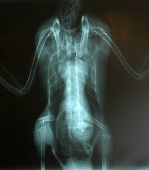 X-Ray of a Duck, who may or may not have eaten the head of an extraterrestrial