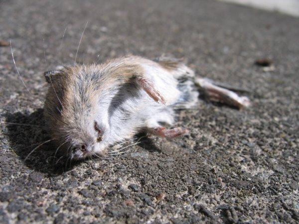 Chameleonic Dead mouse – Chameleonic