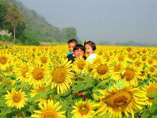 Sunflower Lopburi