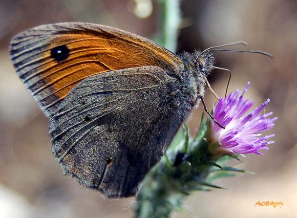 Papillon gris orange