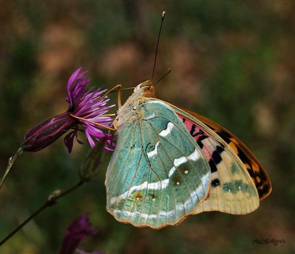 Fabuleux papillon