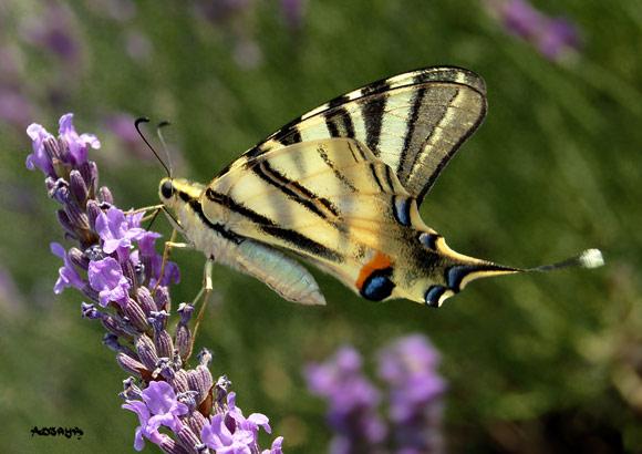 papillon jaune et lavande