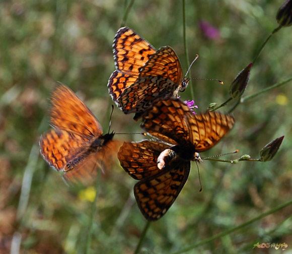 Trois papillons accouplement