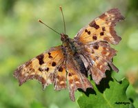 Papillon robert le diable