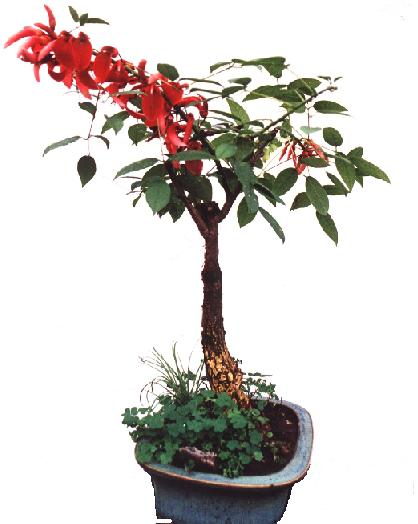Bonsai for Vivero el ceibo