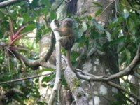 Le plus petit singe du monde (qui ne s'appelle pas Sven)