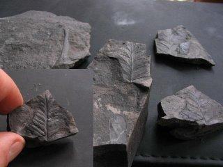Fossile houiller, tête de fougère