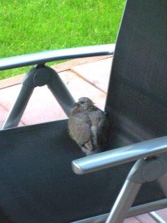 Taube zu Besuch