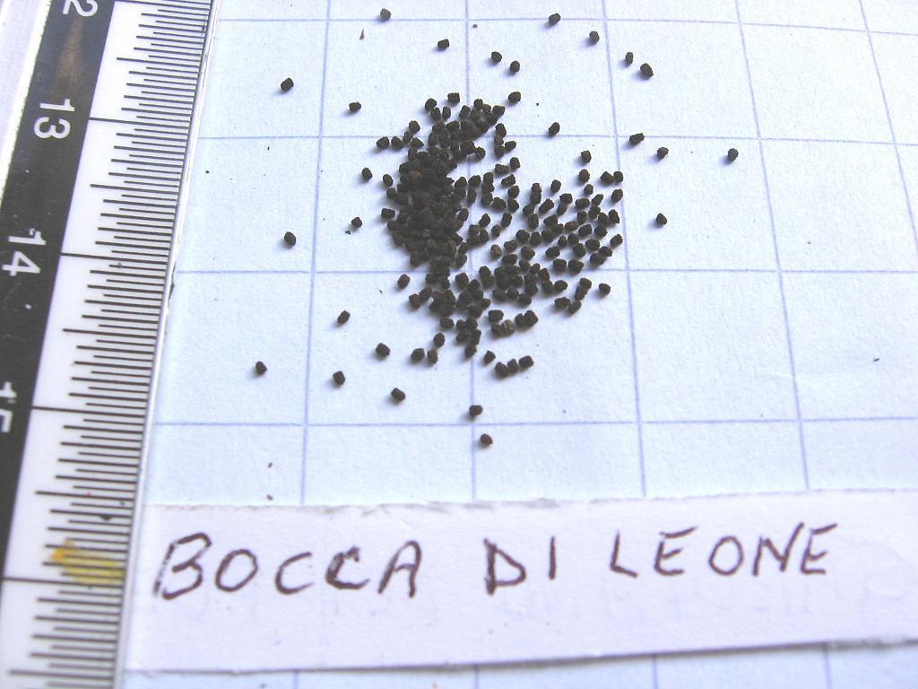 Miniature for Bocca di leone in vaso