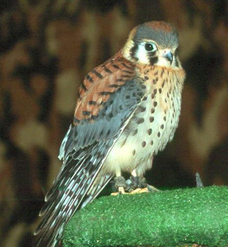 Baby sparrow hawk - photo#3