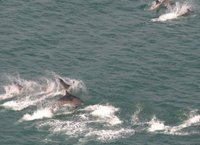 Delfines rias baixas