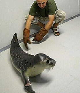Una foca en Muxia