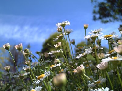 Morning Daisies in Bellaterra: Click to resize