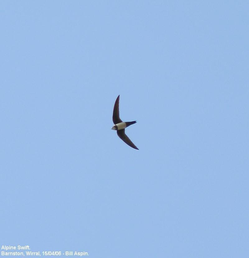 Bill Aspins Birding Blog Alpine Swift