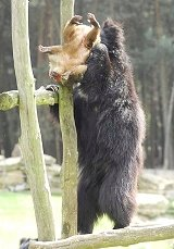 Sloth bear mauls and eats Barbary macaque monkey