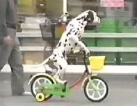 Dalmatian dog rides a bike on its own