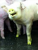 A transgenic fluorescent green pig