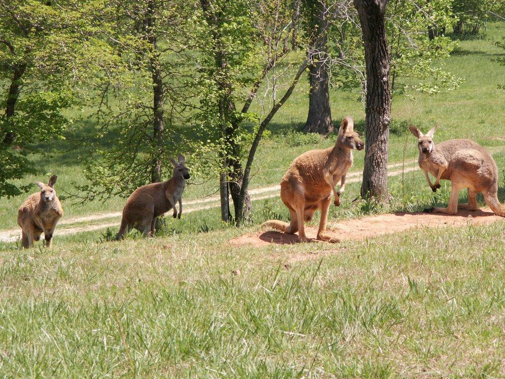 A Trip to Georgia's Kangaroo Conservation Center