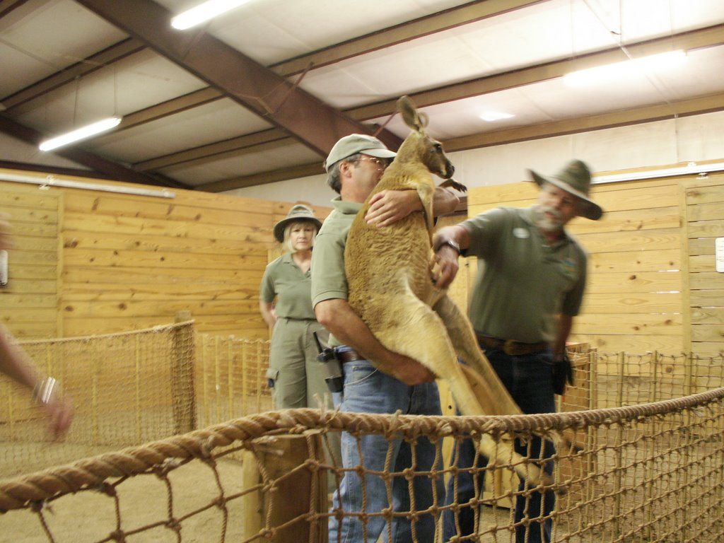 After that there's barn show, where you'll get close to the tamer kangaroos and other Australian animals. You'll learn, for instance, that their pouches ...